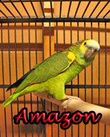 Beautiful Amazon Blue Front Parrot babies, hand feed and sweet