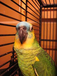 This is a beautiful Blue Front Amazon Parrot