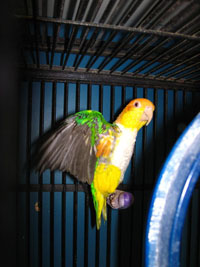 Beautiful Colorful Clowns, our White Bellied Caiques