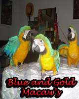 Beautiful Blue and Gold Macaw babies, hand feed and sweet