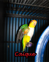 Beautiful Caique babies, hand feed and sweet