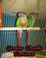 Beautiful Green Cheek Conures babies, hand feed and sweet