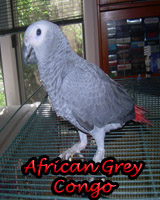 Beautiful African Grey Congo babies, hand feed and sweet