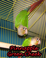 Beautiful Pinnapple Green Cheek Conures babies, hand feed and sweet